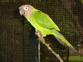 One of the Parrots Corona worked with which spoke