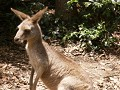 Skippy, the bush kangaroo
