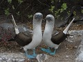 Everybody loves blue footed boobies!