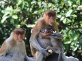 Labuk Bay Proboscis Monkey Sanctuary6