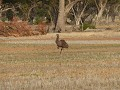 Emu in Coonamble.