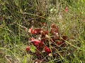 Prince Albert NP, pitcher plant