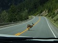 Sea to Sky Highway - overstekend wild