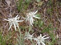 Edelweiss ... ook in China
