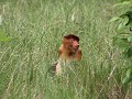 proboscis monkey in Bako NP