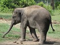 jonge Aziatische olifant in Elephant breeding cent