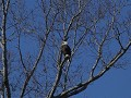 bald eagle in Fort Donelson National Battelfield