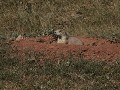 Wind Cave NP, Prairie Dog