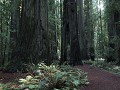 Redwoods - Avenue of the Giants, holle basis van l