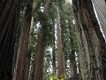 Redwoods - Stout Grove