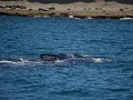 De Southern Right Whale kan tot 17m lang worden en
