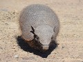 Andean Hairy Armadillo (gordeldier)