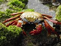 Cangrejo zayapa (Sally Lightfoot Crab)