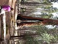 Mariposa Grove: Clothespin Tree