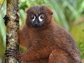 Red-bellied lemur (male)