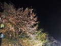 Hanami by night ofte yozakura