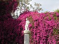 Giant Bougainvilea