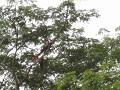 Deze van het kruiswoordraadsel : Grote papagaaiens
